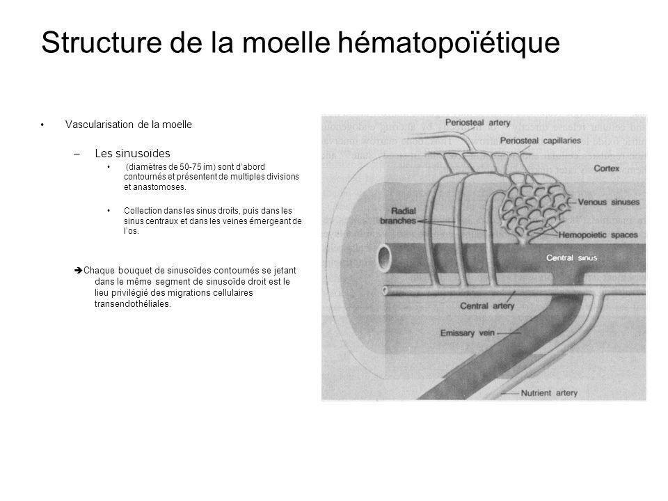 Structure de la moelle hématopoïétique Vascularisation de la moelle –Les sinusoïdes (diamètres de 50-75 ím) sont dabord contournés et présentent de multiples divisions et anastomoses.