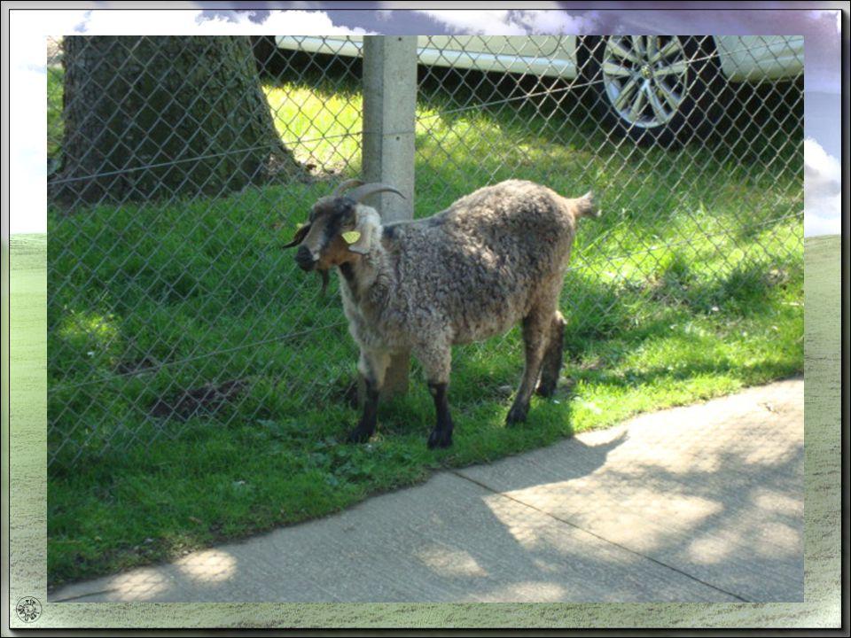 Et pour la chèvre on dit quoi ? Ménager la chèvre et le chou, cest user dadresse pour ne blesser ni lun ni lautre. Prendre la chèvre, se fâcher sans s