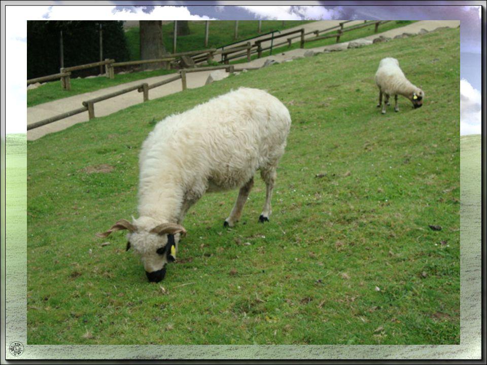 le terme mouton est beaucoup utilisé Cest un mouton se dit dune personne douce, ou facile à manœuvrer.