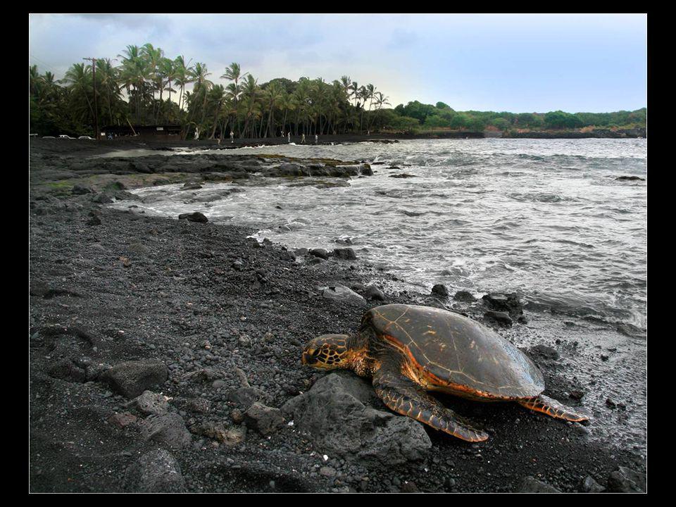 Punaluu est une plage entre Pahala et Na Alehu à Hawaï. Le sable noir provient de lave basaltique formée, une caractéristique également constatée d'au