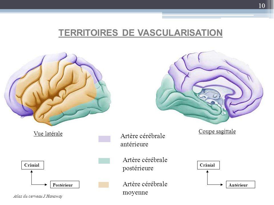 10 Crânial Antérieur TERRITOIRES DE VASCULARISATION Atlas du cerveau J.Hanaway Artère cérébrale antérieure Artère cérébrale postérieure Artère cérébra