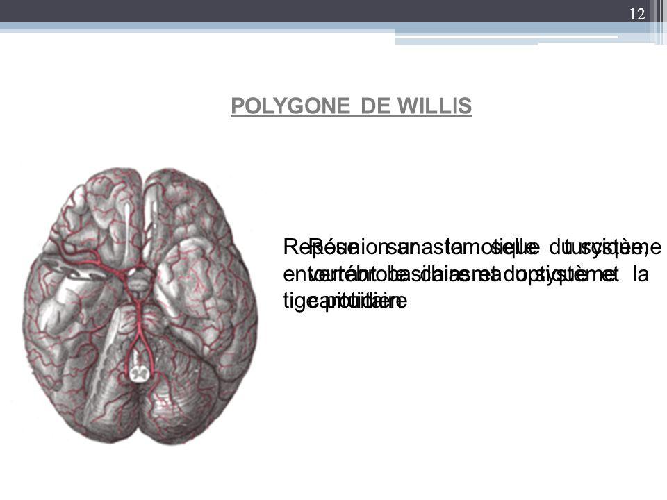 12 POLYGONE DE WILLIS Repose sur la selle turcique, entourant le chiasma optique et la tige pituitaire Réunion anastomotique du système vertébrobasila