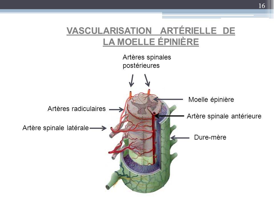 16 VASCULARISATION ARTÉRIELLE DE LA MOELLE ÉPINIÈRE Dure-mère Moelle épinière Artères spinales postérieures Artères radiculaires Artère spinale latéra