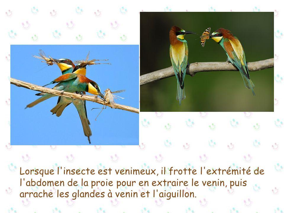 Ils se nourrissent aussi de cigales, libellules, papillons, punaises, ainsi que des, criquets, sauterelles..., hannetons... et mouches...