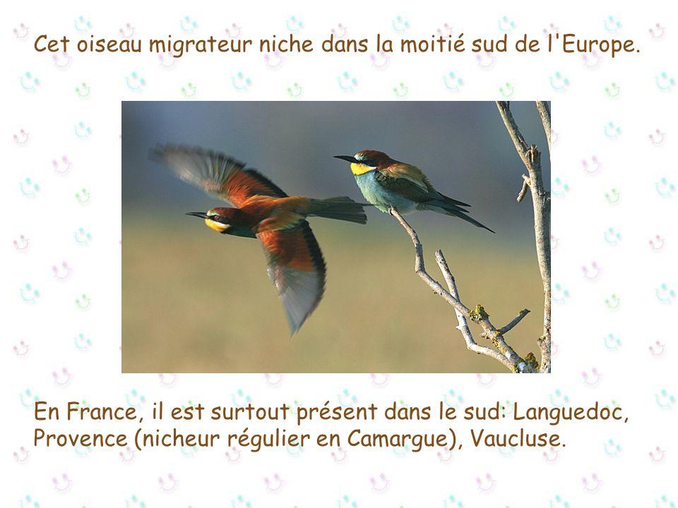 Nom latin: Merops Apiaster Nom anglais: Bee-eater Nom espagnol: Abejaruco comôn Ordre: Coraciiformes Famille: Meropidés Longueur: env. 27 cm Envergure