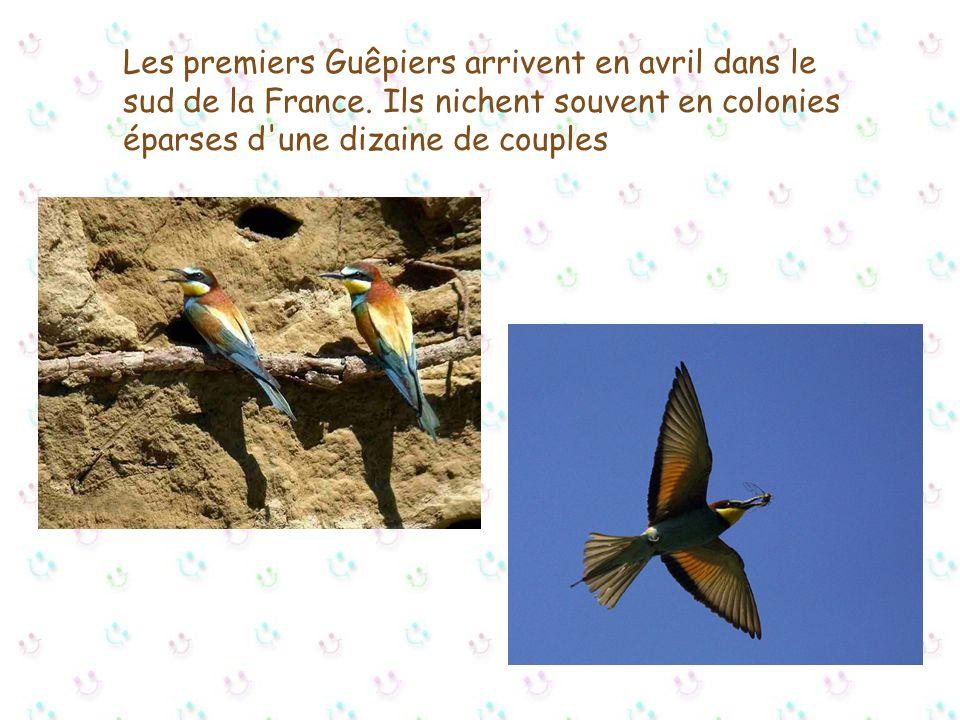 Cet oiseau migrateur niche dans la moitié sud de l'Europe. En France, il est surtout présent dans le sud: Languedoc, Provence (nicheur régulier en Cam