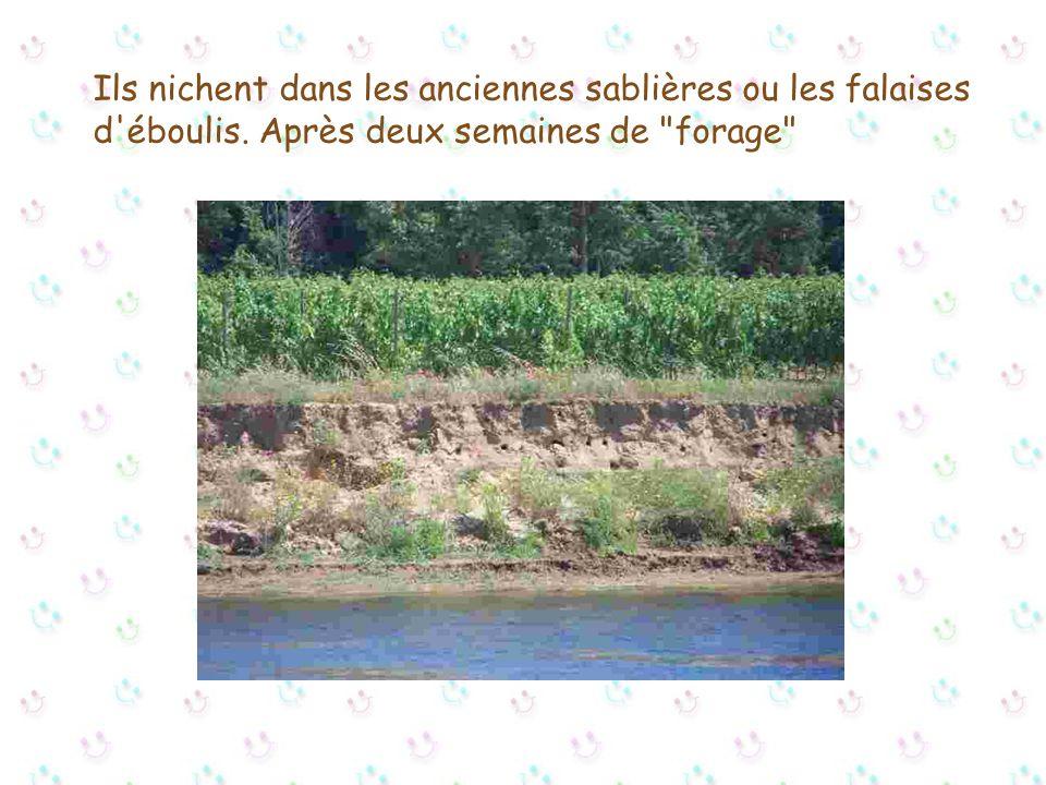 Les premiers Guêpiers arrivent en avril dans le sud de la France. Ils nichent souvent en colonies éparses d'une dizaine de couples