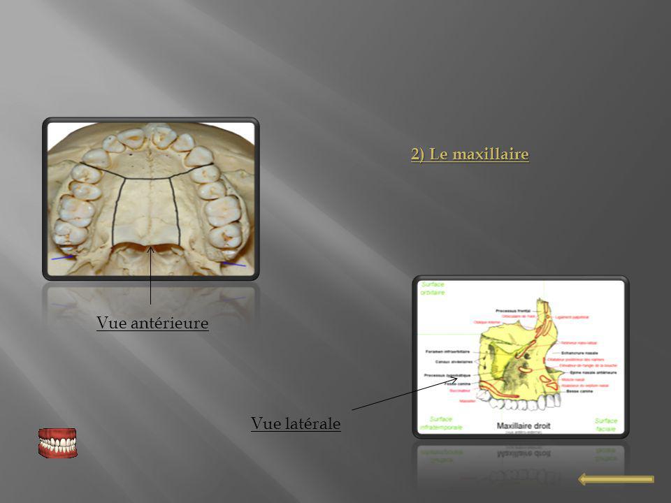 Dent en coupe Anatomie de limplant