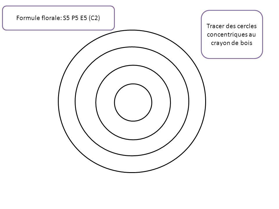 Tracer des cercles concentriques au crayon de bois Formule florale: S5 P5 E5 (C2)