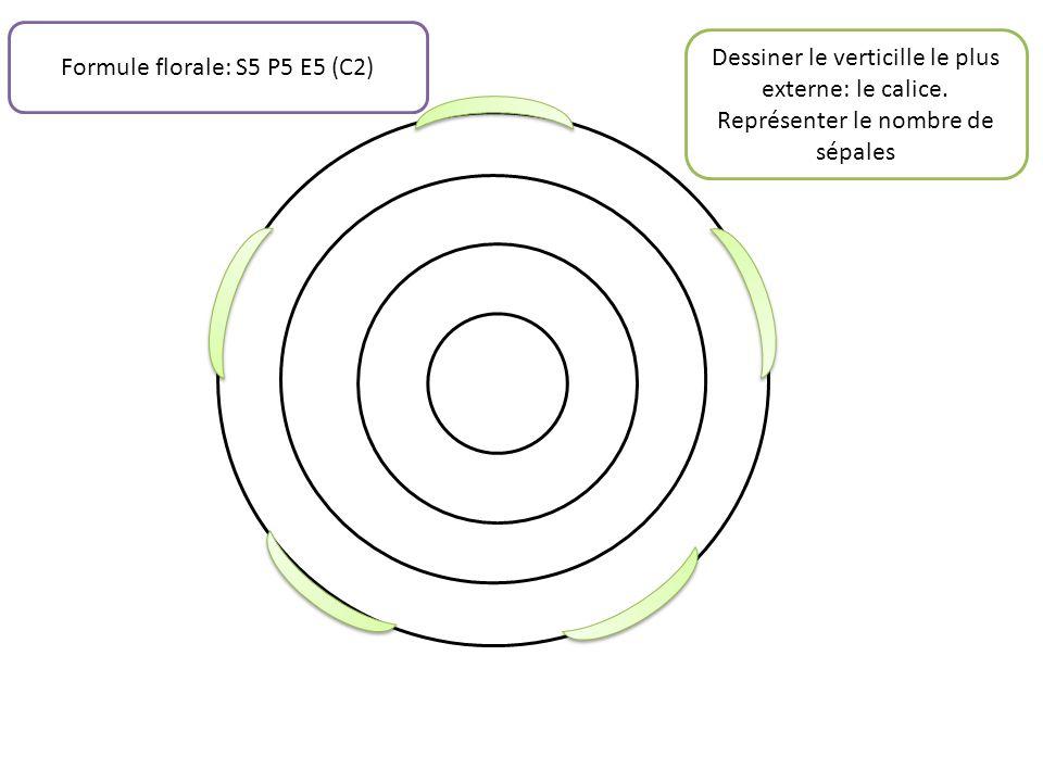 Dessiner le verticille le plus externe: le calice. Représenter le nombre de sépales Formule florale: S5 P5 E5 (C2)
