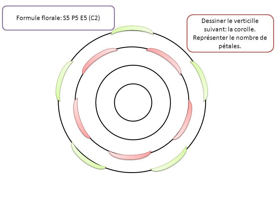 Dessiner le verticille suivant: la corolle. Représenter le nombre de pétales. Formule florale: S5 P5 E5 (C2)