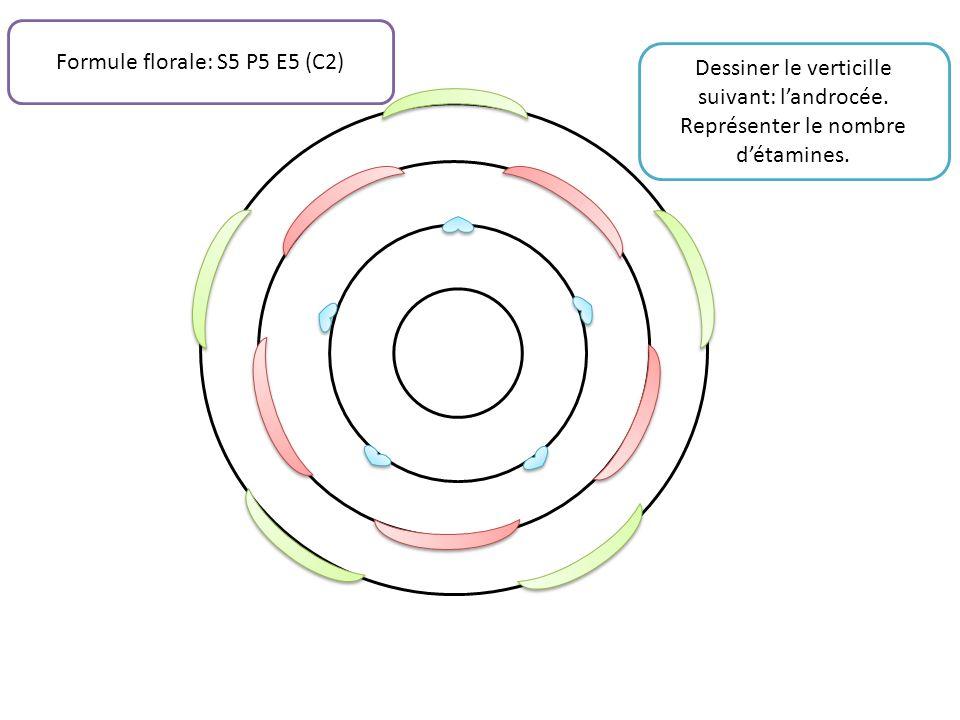 Dessiner le verticille suivant: landrocée. Représenter le nombre détamines. Formule florale: S5 P5 E5 (C2)