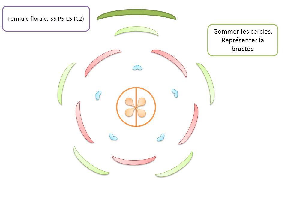 Gommer les cercles. Représenter la bractée Formule florale: S5 P5 E5 (C2)