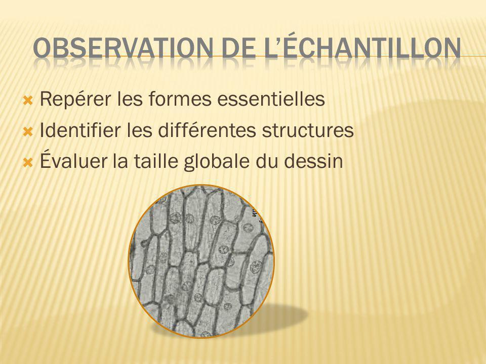 Repérer les formes essentielles Identifier les différentes structures Évaluer la taille globale du dessin
