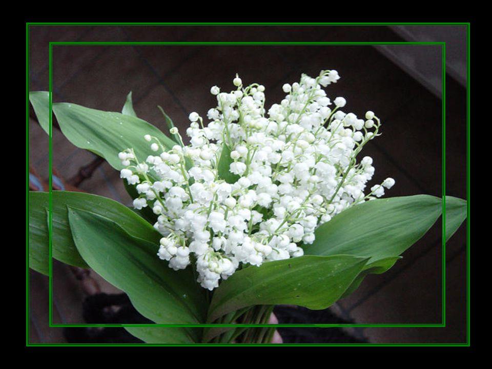 Un délicat brin de muguet Allergique au printemps Se mettait à tousser Du premier mai A je ne sais quand !