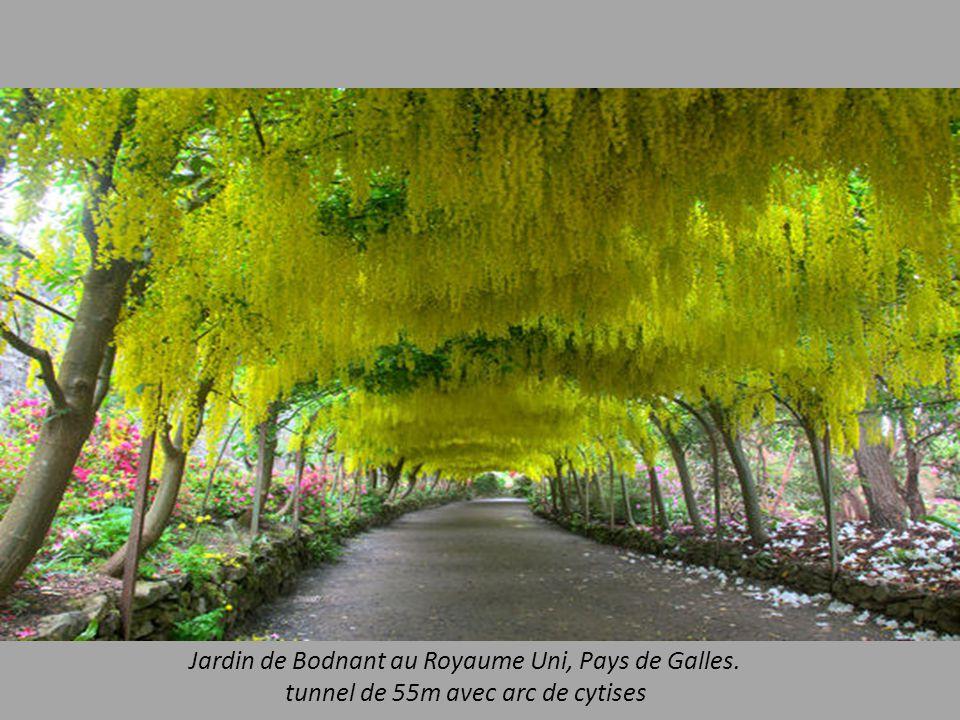 Jardin de Bodnant au Royaume Uni, Pays de Galles. tunnel de 55m avec arc de cytises