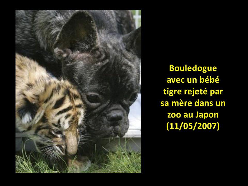 Jeune lion rejeté par sa mère et adopté par une chienne (Afrique, 2008)