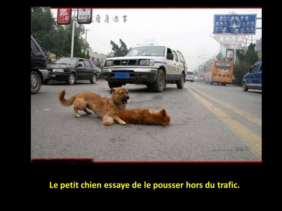 Petit chien, en train de veiller, au milieu dune avenue à grand trafic, son congénère écrasé par une voiture.