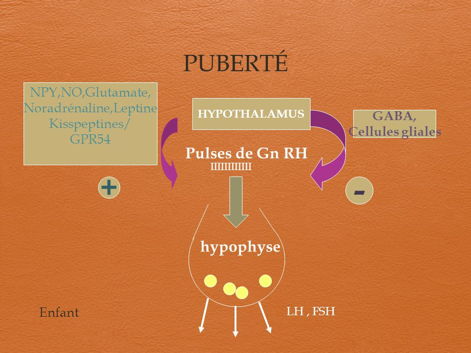 PUBERTÉ LH, FSH hypophyse Pulses de Gn RH HYPOTHALAMUS NPY,NO,Glutamate, Noradrénaline,Leptine Kisspeptines/ GPR54 GABA, Cellules gliales IIIIIIIIIIII