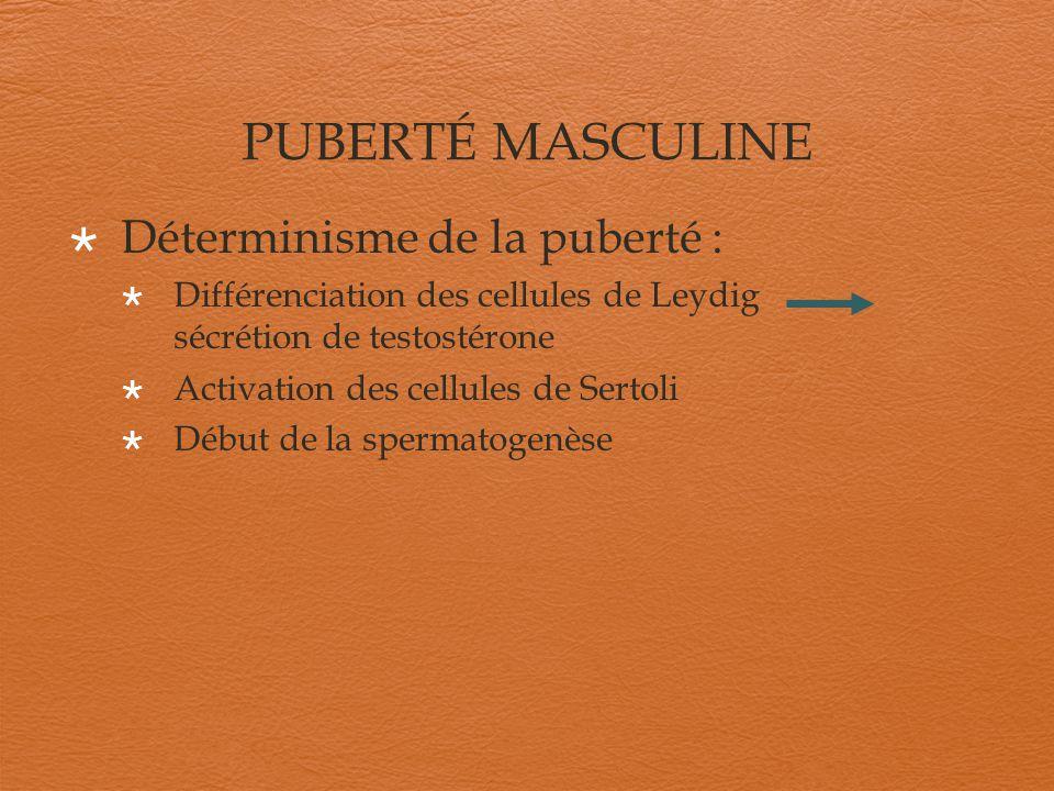 PUBERTÉ MASCULINE Déterminisme de la puberté : Différenciation des cellules de Leydig sécrétion de testostérone Activation des cellules de Sertoli Déb