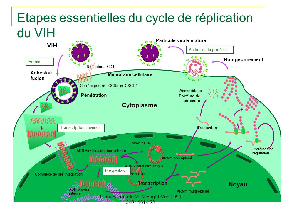 10 Cytoplasme Transcription inverse Pénétration Récepteur CD4 Co-récepteurs CCR5 et CXCR4 Adhésion fusion ADN viral linéaire non intégré Avec 2 LTR Av