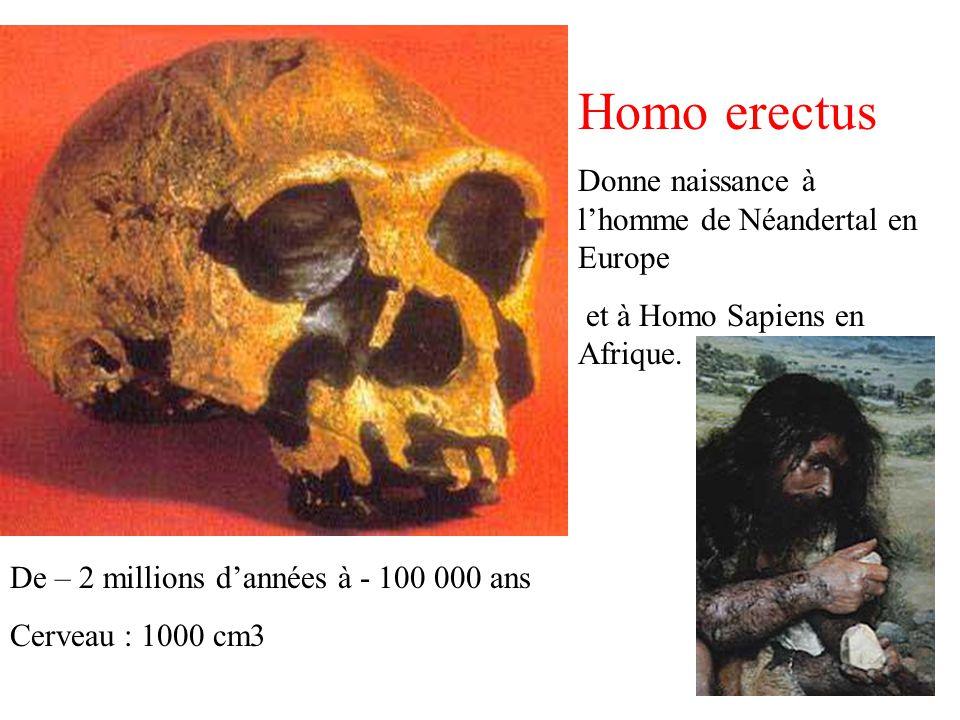 Homo erectus Donne naissance à lhomme de Néandertal en Europe et à Homo Sapiens en Afrique. De – 2 millions dannées à - 100 000 ans Cerveau : 1000 cm3
