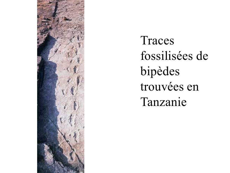 Traces fossilisées de bipèdes trouvées en Tanzanie