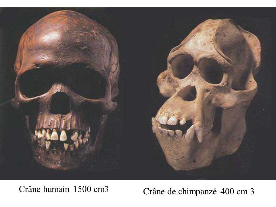 Crâne humain 1500 cm3 Crâne de chimpanzé 400 cm 3