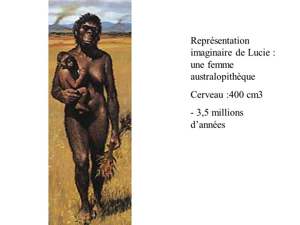 Représentation imaginaire de Lucie : une femme australopithèque Cerveau :400 cm3 - 3,5 millions dannées
