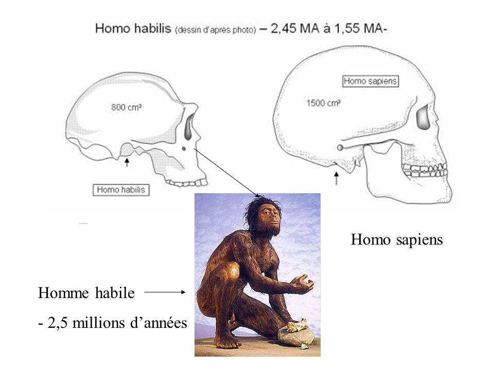 Homme habile - 2,5 millions dannées Homo sapiens