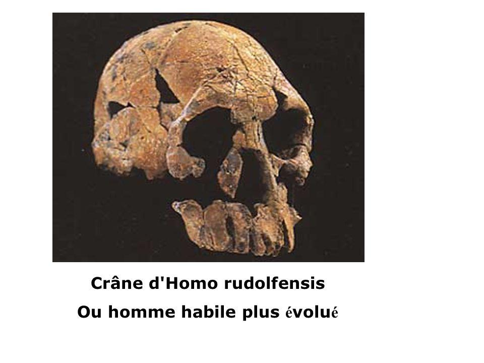 Crâne d'Homo rudolfensis Ou homme habile plus é volu é