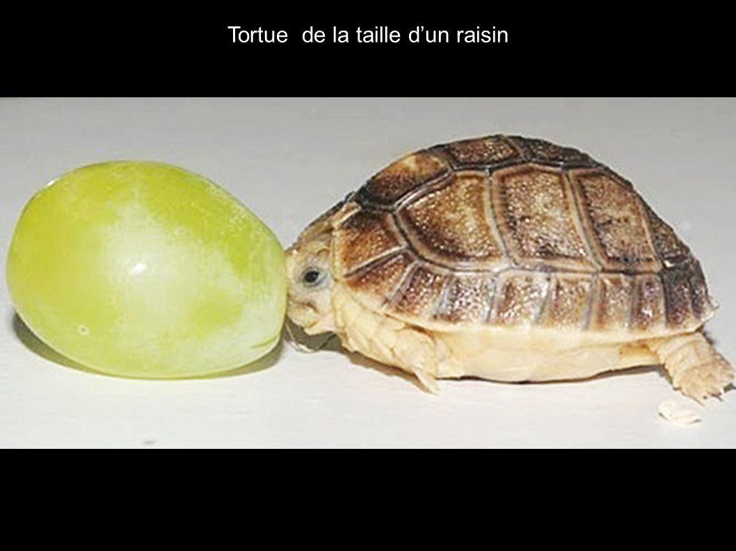 Tortue de la taille dun raisin