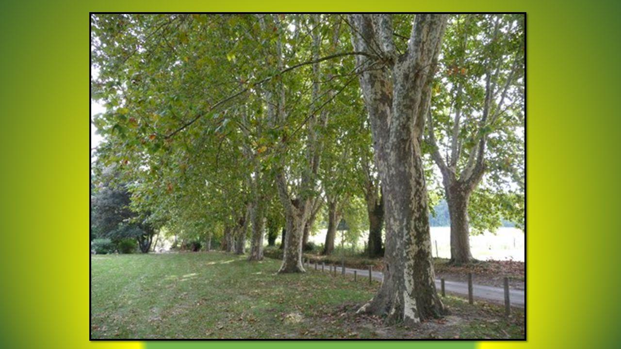 Sur le bord de la route, un arbre vénérable, Antique, charpenté, à la sortie du bourg Veille sur le pays, puissant, inattaquable Même si laquilon balaie le carrefour.