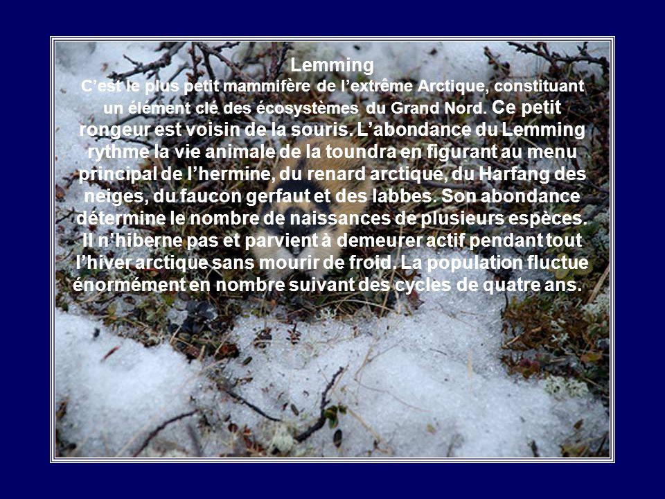 Harfang des Neiges Le Harfang est un animal plutôt timide et silencieux. Ses yeux ne roulent pas dans leur orbite, ce qui oblige loiseau à tourner la