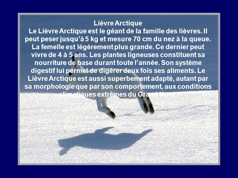 Lemming Cest le plus petit mammifère de lextrême Arctique, constituant un élément clé des écosystèmes du Grand Nord. Ce petit rongeur est voisin de la