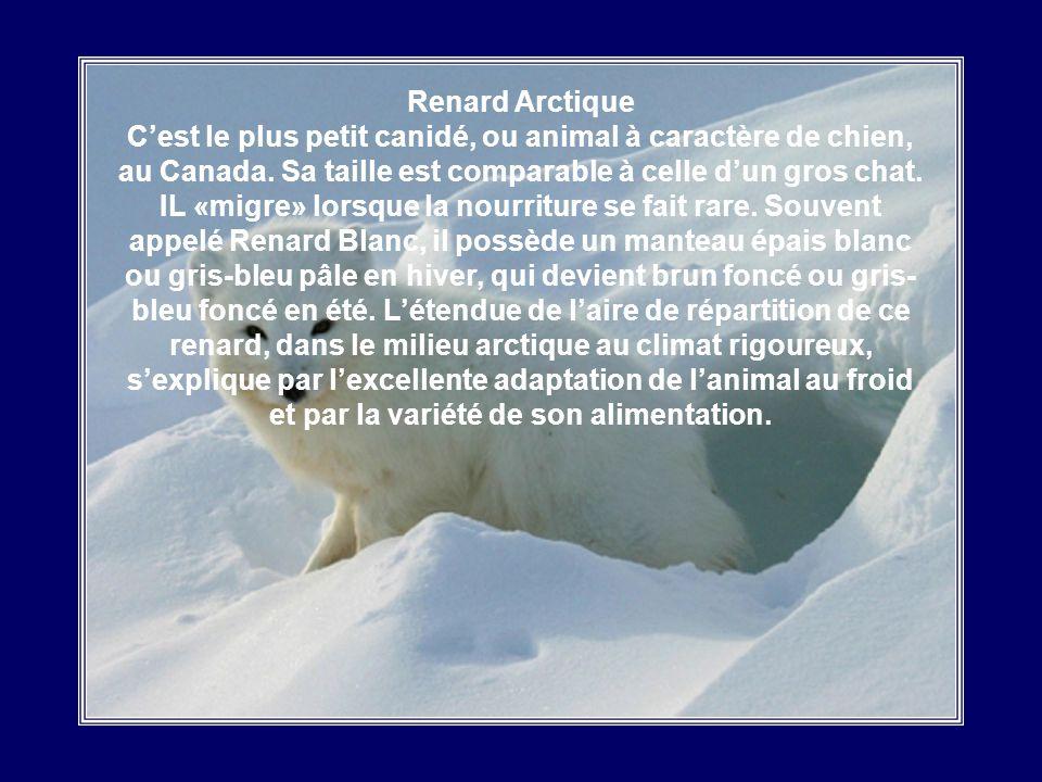 Lièvre Arctique Le Lièvre Arctique est le géant de la famille des lièvres. Il peut peser jusquà 5 kg et mesure 70 cm du nez à la queue. La femelle est