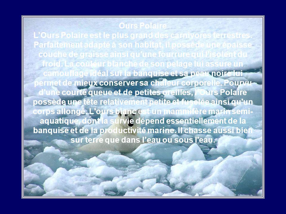 Loup Arctique Le Loup Arctique est plus petit que les autres espèces de loups. Un adulte peut mesurer 90 cm de long et peser environ 45 kg. Sa toison