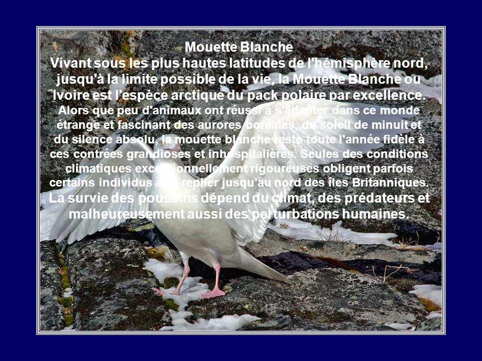 Sterne Arctique La Sterne Arctique est un oiseau marin circumpolaire de la famille des Laridés. Cet oiseau migrateur est témoin de deux étés chaque an