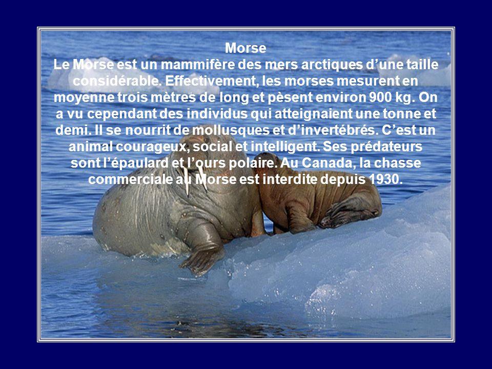 Mouette Blanche Vivant sous les plus hautes latitudes de l'hémisphère nord, jusqu'à la limite possible de la vie, la Mouette Blanche ou Ivoire est l'e