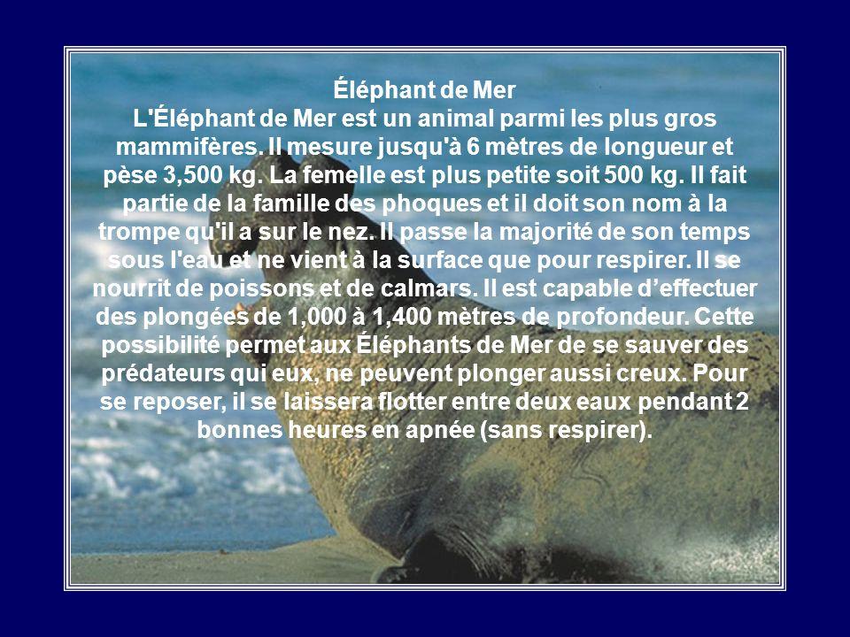 Morse Le Morse est un mammifère des mers arctiques dune taille considérable. Effectivement, les morses mesurent en moyenne trois mètres de long et pès