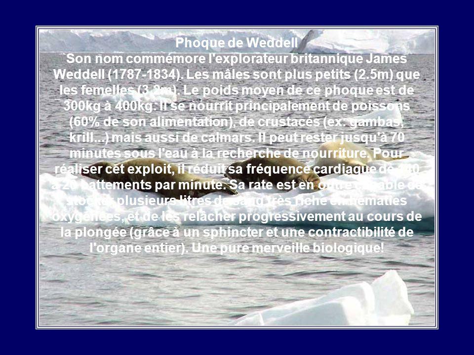 Phoque Barbu Solitaire et dun naturel curieux, le Phoque Barbu se laisse facilement approcher par lhomme. Ce phoque se caractérise par une petite tête