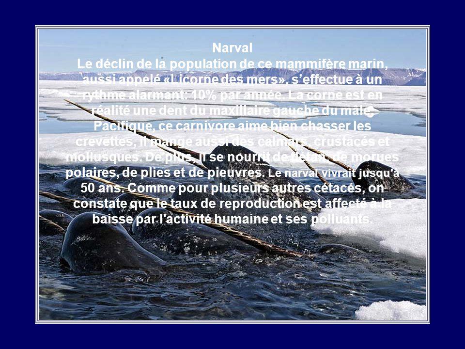 Béluga Mammifère marin sociable qui est sur la liste rouge des espèces menacées. On lui donne aussi le nom de «Canari de mer»: le Béluga est capable d