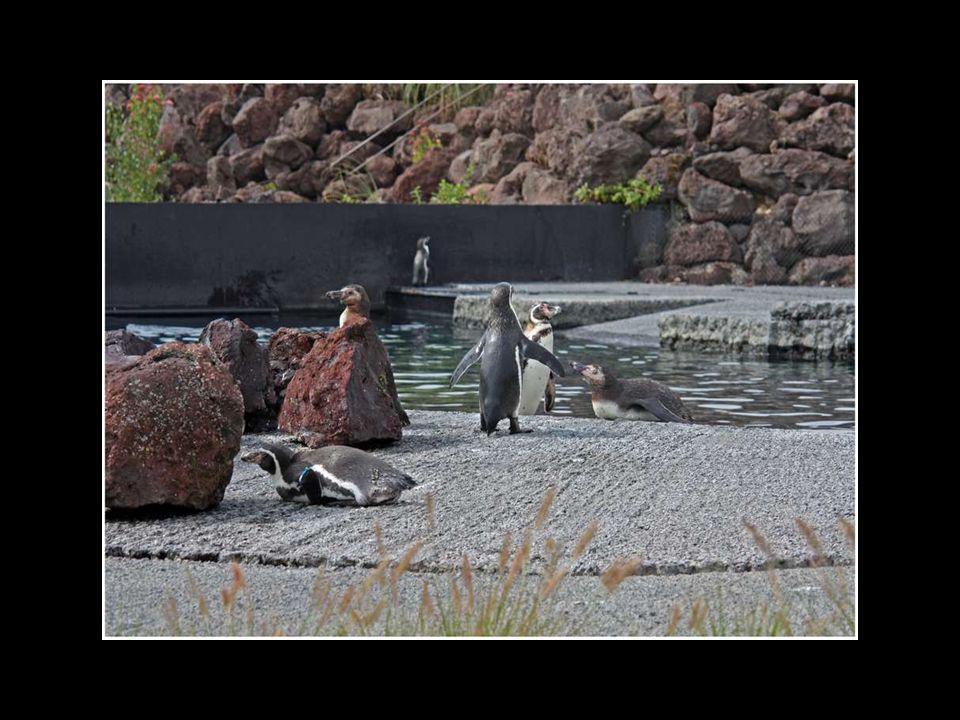 La Crique aux manchots de Humboldt - 2004