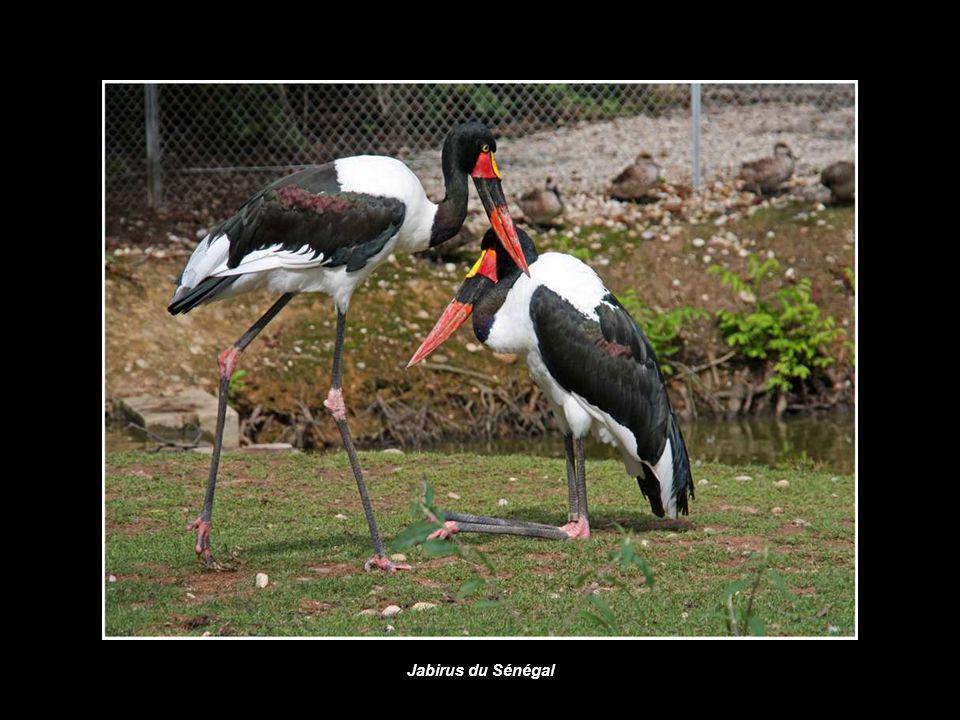 Jabirus du Sénégal