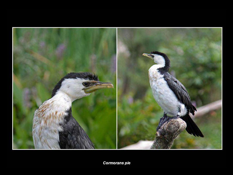 Cormorans pie