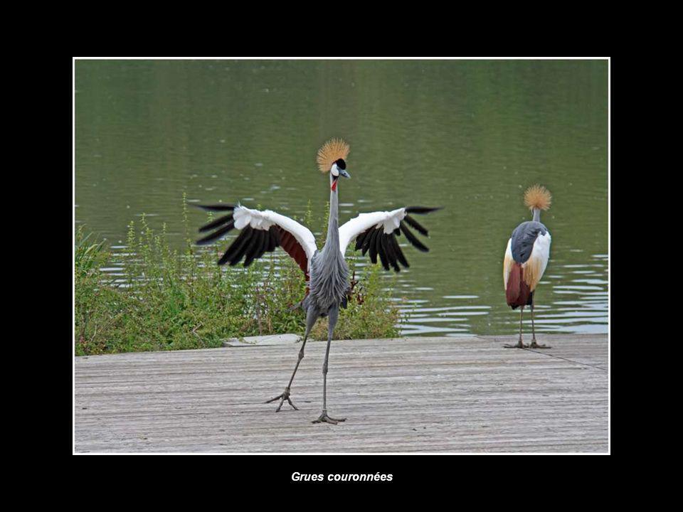 Bernaches et Ibis
