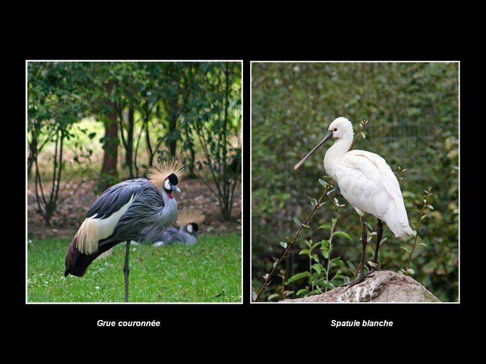 Spatule blancheGrue couronnée