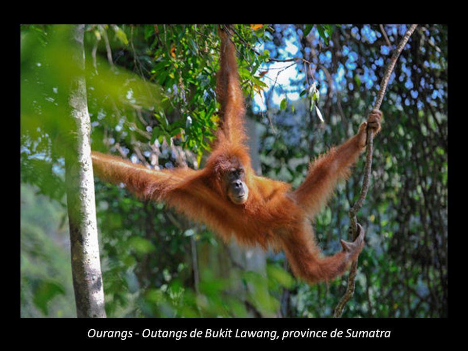 Ourangs - Outangs de Bukit Lawang, province de Sumatra
