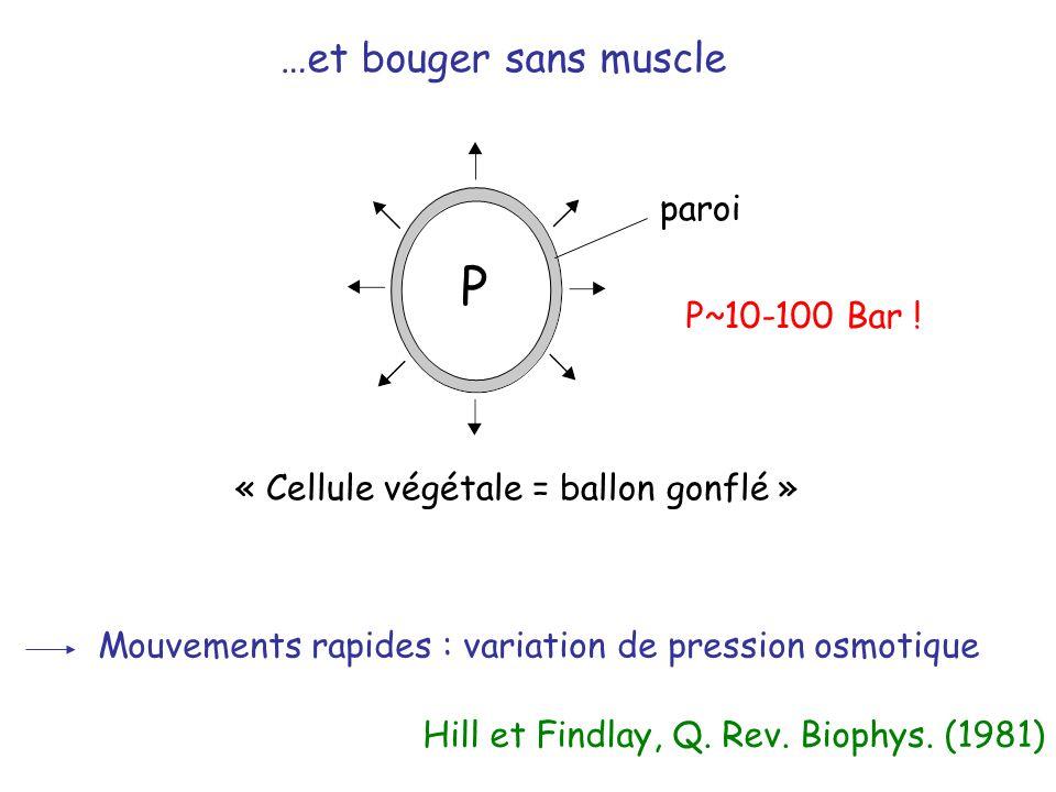 P~10-100 Bar ! « Cellule végétale = ballon gonflé » …et bouger sans muscle P Hill et Findlay, Q. Rev. Biophys. (1981) Mouvements rapides : variation d