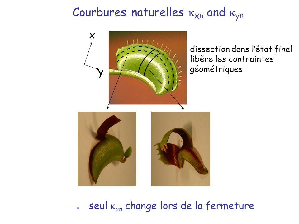 y x seul xn change lors de la fermeture Courbures naturelles xn and yn dissection dans létat final libère les contraintes géométriques